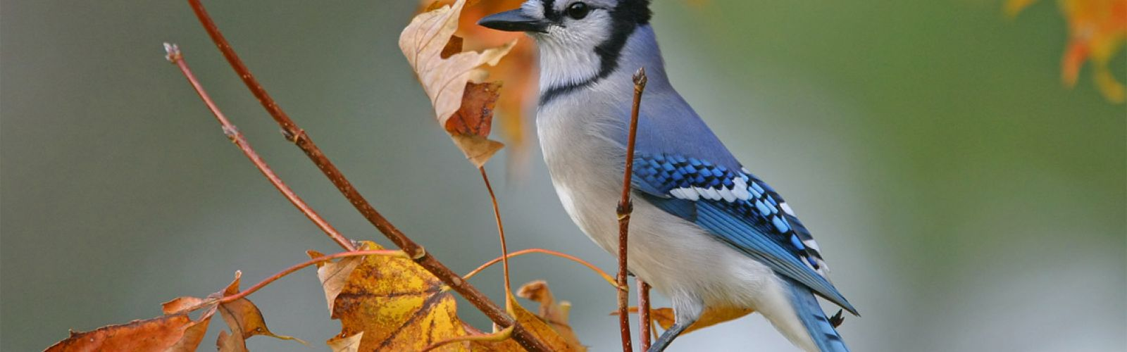 Blue Jay in a tree
