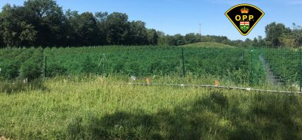 cannabis field